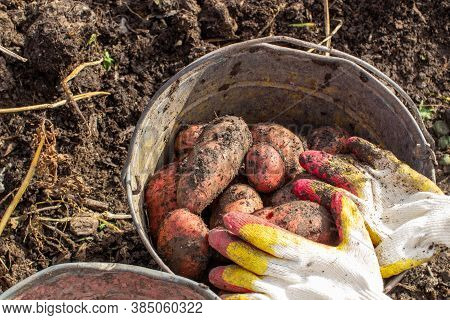 Digging Potatoes In The Garden. Collected Potatoes In A Bucket