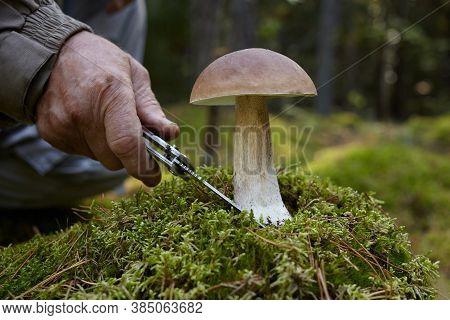 Mashroom Picker With Boletus Machroom. Old Man Hand Cutting White Mashroom In Forest.