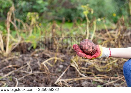 Digging Potatoes In The Garden. A Large Potato In Your Hand.