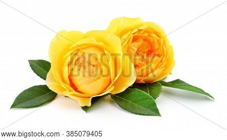 Yellow Rose Flower On White Background, Yellow Rose Close-up. Rose Flower In Nature, Colorful Roses