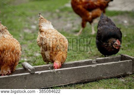 Several Red, Farm Chickens Eating Some Corn In The Countryside. Farming And Pet Concept.