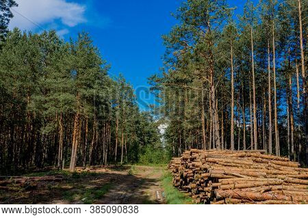 Felling A Tree. Wooden Logs From A Pine Forest. Forest Of Pine And Spruce. Logging, Logging, Forest