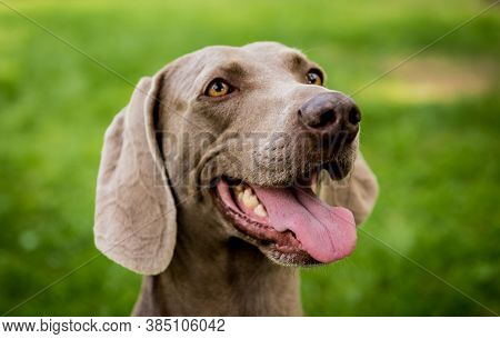Portrait Of Cute Weimaraner Dog Breed At The Park.