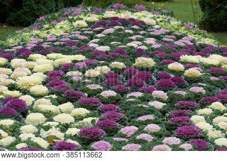 Decorative Composition Of Fresh Decorative Brassica Oleracea, Autumn Bouquet. Multicolored Decorativ
