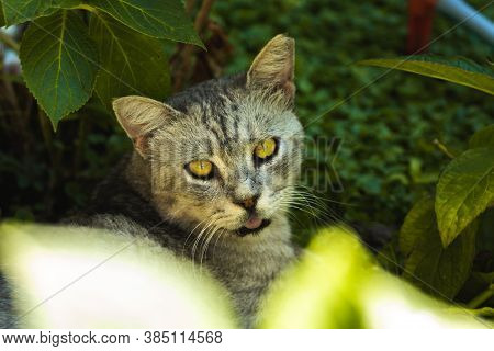 Cat With An Open, Unfriendly Muzzle On A Background Of Grass In The Park