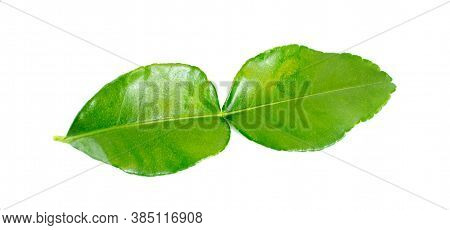 Fresh Caffre Lime Leaves An Isolated On White Background.