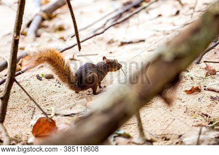 Cute Red-tailed Squirrel In Costa Rica / Cahuita
