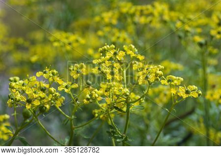 Blooming Common Rue Or Herb-of-grace (ruta Graveolens) With Yellow Flowers, Aromatic Herb And Medici