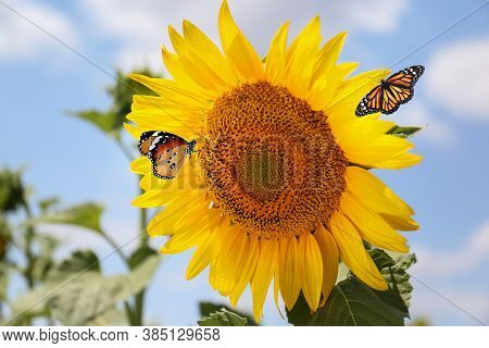 Beautiful Monarch And Plain Tiger Butterflies On Sunflower, Closeup
