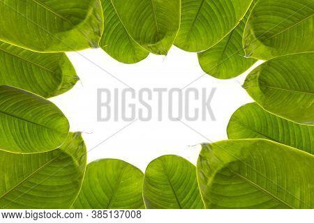 Green Fresh Banana Leaf With White Space