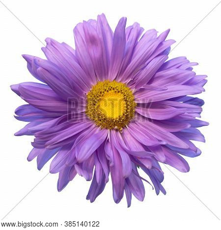 Aster Alpinus Isolated On White Background, Aster Alpinus Purple Violet Flowers In Bloomaster Alpinu