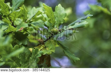 Swedish Oak Tree With Acorns. The Season For The Acorn Is Now In September.