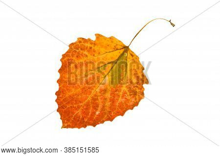 One Colorful Bright Autumn Aspen Leaf On White Isolated Background.