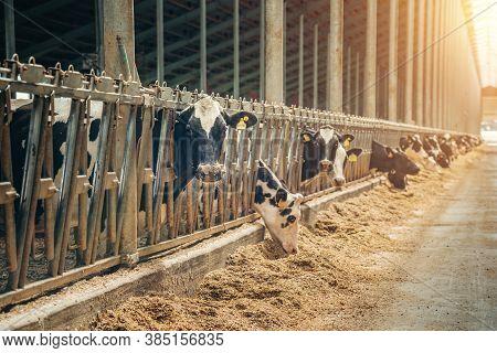 Cows On Dairy Farm. Cows Breeding At Modern Milk Or Dairy Farm.