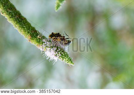 Male And Female Jagged Ambush Bug Captured A Honeybee.