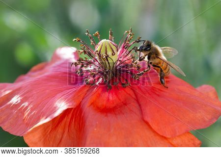 A Honeybee Collects Pollen From A Red Common Poppy. Papaver Rhoeas