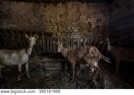 Flock Of Goats Resting On Straw In Stables In Voivodina, The Most Rural And Agricultural Spot Of Ser