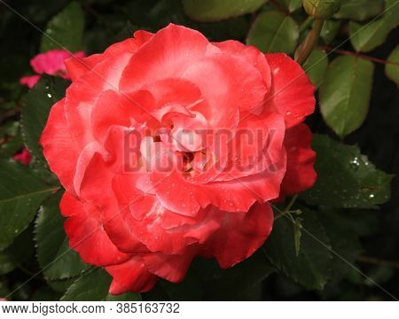 Outside Closeup Of Single Bright Reddish Peach Garden Rose With Water Drops