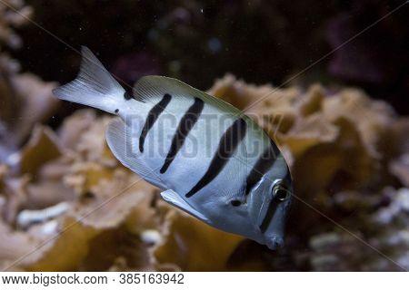 Acanthurus Triostegus (convict Tang, Convict Surgeonfish) In Aquarium.