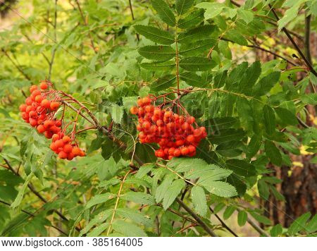 Clusters Of Orange Western Mountain Ash (sorbus Scopulina) Berries In Blue Mountains, Oregon
