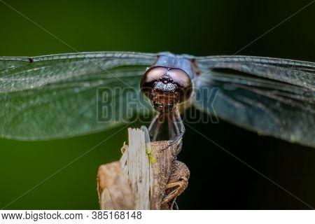 Close Up Of A Male Slaty Skimmer (libellula Incesta).