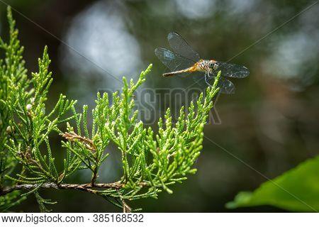 A Female Blue Dasher (pachydiplax Longipennis) Perches Upon A Cedar Branch. Raleigh, North Carolina.