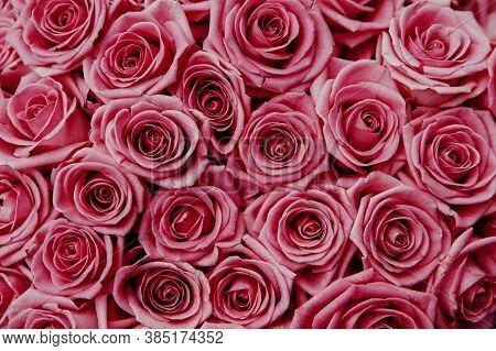 Pink Rose Flower. Pink Rose Close-up. Rose Flower In Nature. Colorful Roses Flower.