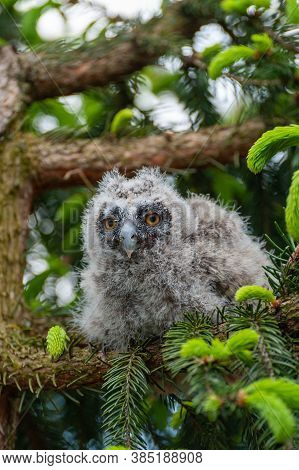 A Small Long-eared Owl Sits On A Tree Branch In The Forest.