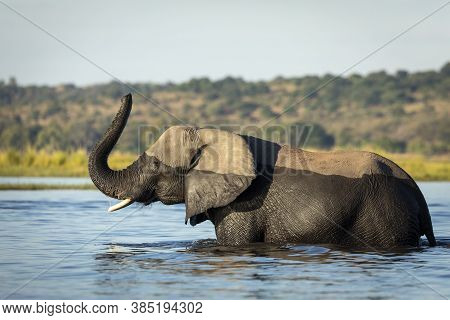 Elephant Standing In Water With Its Trunk Raised Up In Chobe River In Botswana