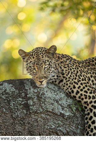 Vertical Portrait Lying Down On A Tree Branch Looking At Camera In Kruger Park In South Africa
