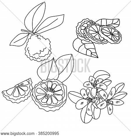 Set Of Citrus Parts Of Bergamot Plant, Flowers, Leaves, Whole Fruits And Slices, Vector Outline Illu