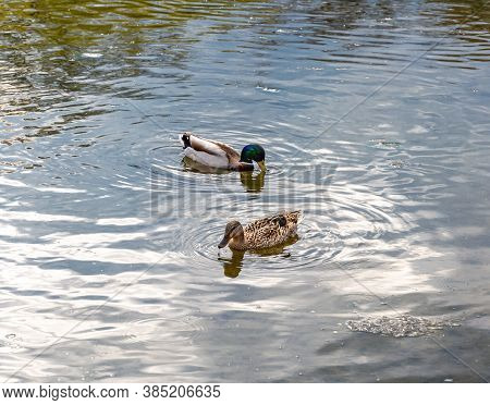 Male And Female Mallard Duck Swimming On Lake. Duck Couple Looking For Food In Water. Focus On Femal