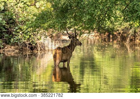 Male Sambar Deer Or Rusa Unicolor With Long Horn Or Stag In Natural Green Background With Reflection