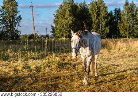 A White Horse Grazes On A Farm Pasture In The Early Morning At Sunrise. A Well-groomed Thoroughbred