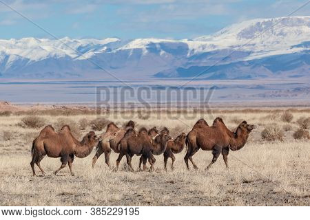 Camels On The Summer Pasture Western Mongolia. Mountain Steppe Landscape
