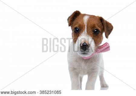 adorable little jack russell terrier dog looking deeply into the camera with big shiny eyes, wearing a pink bowtie and standing against white background