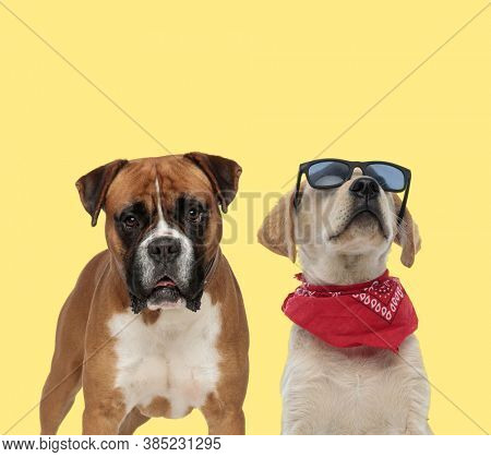 adorable boxer dog standing next to a labrador retriever dog wearing bandana and sunglasses cool on yellow background