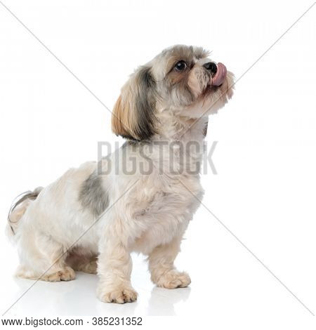 Adorable Shih Tzu puppy panting and begging while sitting on white studio background