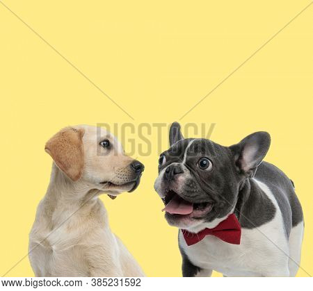 cute labrador retriever dog looking aside to a french bulldog dog wearing red bowtie and panting happy on yellow background