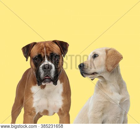 adorable boxer dog standing next to a labrador retriever dog looking aside on yellow background