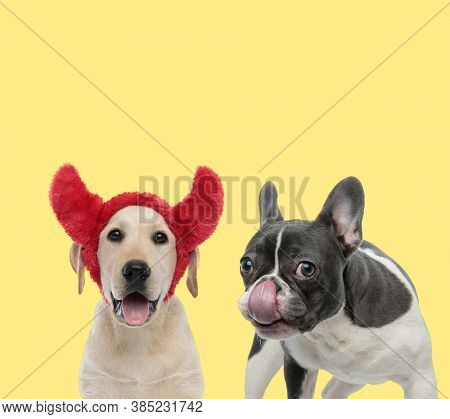 cute labrador retriever dog wearing devil horns next to a french bulldog dog licking nose happy on yellow background