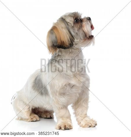 Side view of a Shih Tzu puppy panting while sitting on white studio background