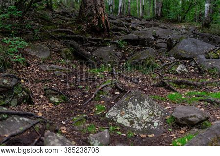 Brown Tree Roots In Brown Forest Ground With Large Stones With Green Grass In Forest, Puddle With Re