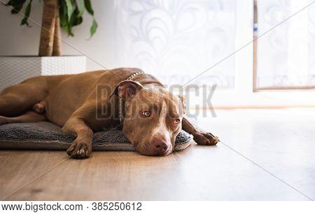 Dog Lying On Wooden Floor Indoors, Brown Amstaff Terrier Resting Next To Garden Doors. Dog Backgroun