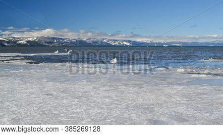 Waterfowl At The Frozen Waters Of Lake Tahoe In The Winter
