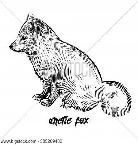 Arctic Fox Or Polar Fox. Animal Wild. Vintage Engraving Style. Vector Art Illustration. Black Graphi