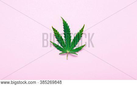 Cannabis Leaf Weed Ganja Green Hemp Leaves On Pink Colour Background. Medical Marijuana Plant Cannab