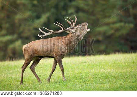 Territorial Red Deer Stag Roaring On Meadow In Autumn.