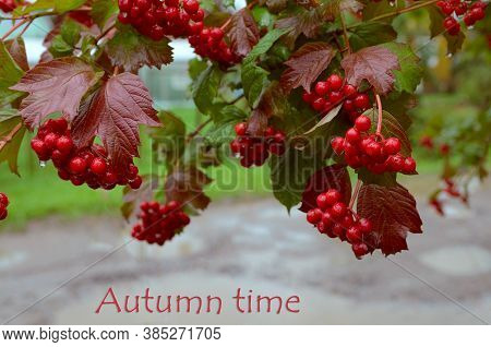 Red Viburnum Or Guelder With Green Leaves In Autumn At The End Of Summer Season. Seasonal Fall Harve