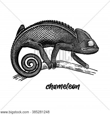 Chameleon On A Tree Branch. Vintage Engraving Style. Vector Art Illustration. Black Graphic Isolate